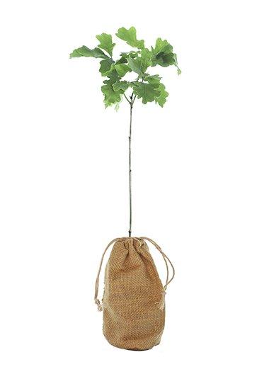 Oak Tree Gift - Quercus Robur - Tree Gifts