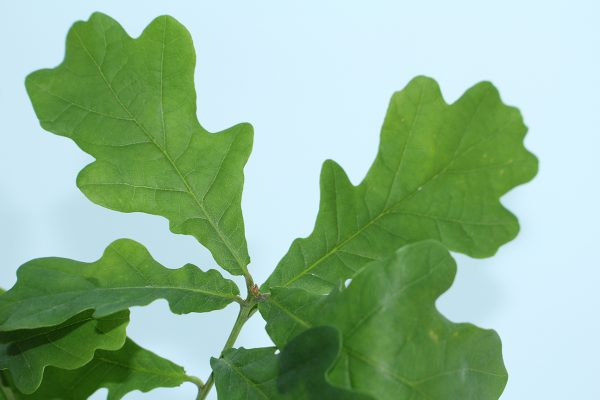 Oak Tree Gift - Quercus Robur - Leaves - Tree Gifts