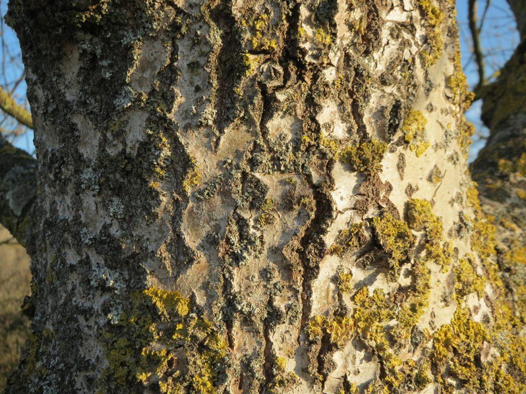 Aspen Tree  -  Populus Tremula  -  Bark