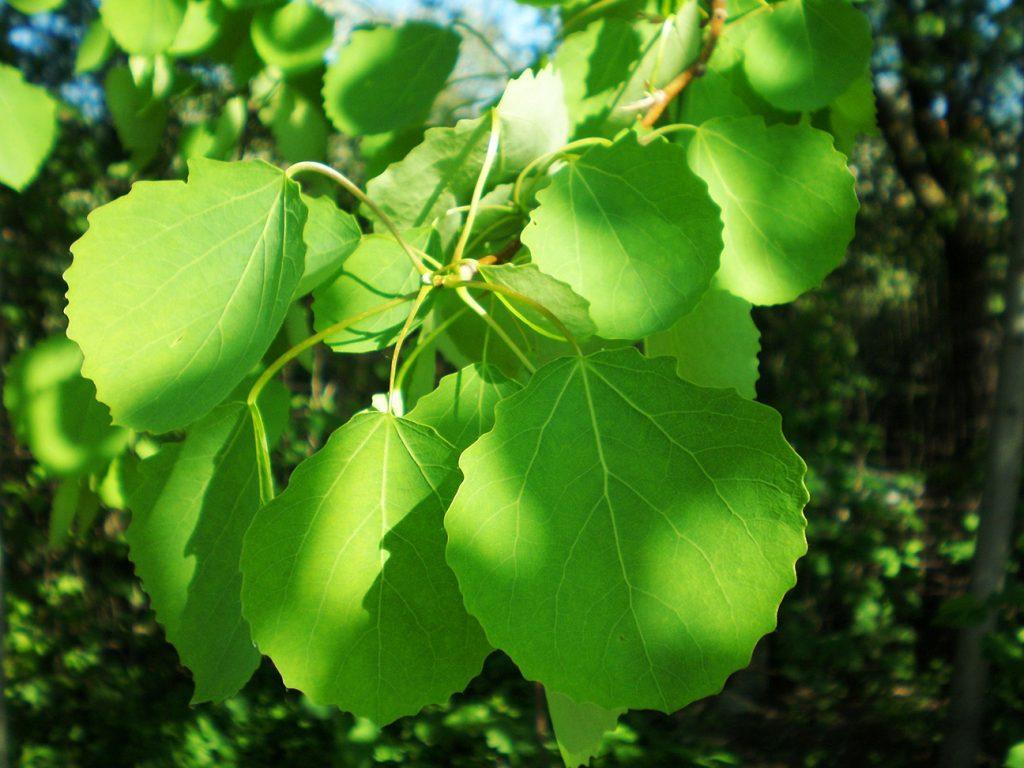Aspen Tree  -  Populus Tremula  -  Leaves