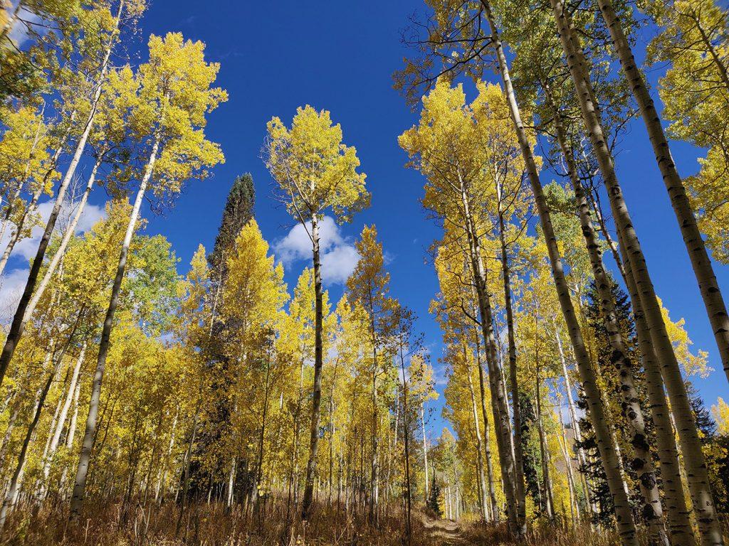 Aspen Tree  -  Populus Tremula  -  Yellow Autumn Leaves