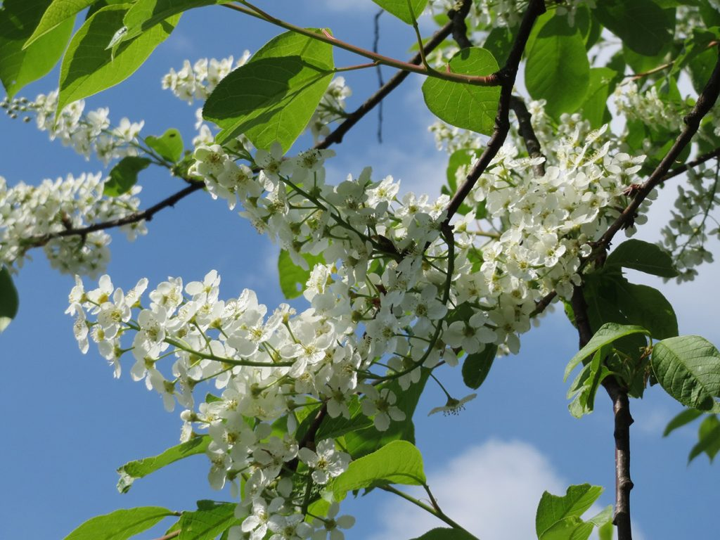 Bird Cherry Tree  -  Prunus Padus  -  Blossom And Leaves