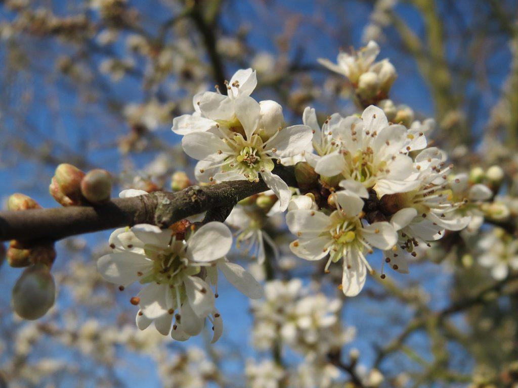 Blackthorn Tree  -  Prunus Spinosa  -  Blossom