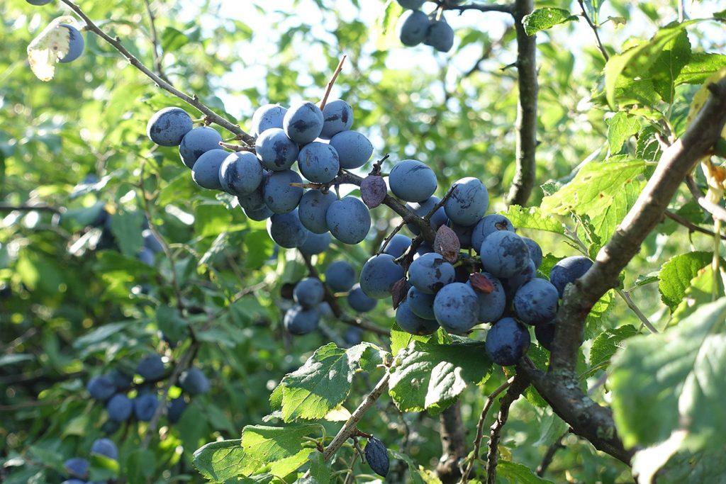 Blackthorn Tree  -  Prunus Spinosa  -  Fruit