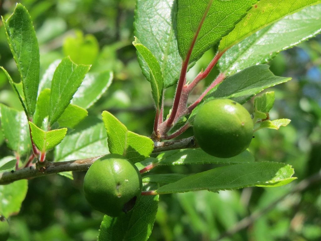 Blackthorn Tree  -  Prunus Spinosa  -  Leaves And Young Berries