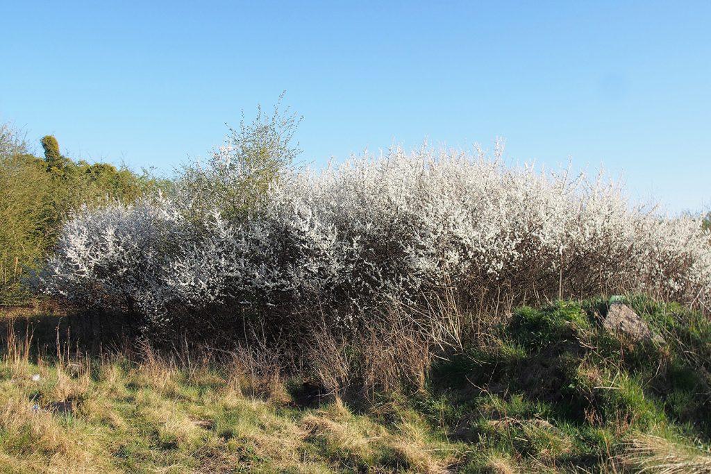 Blackthorn Tree  -  Prunus Spinosa  -  Mature Tree In Blossom