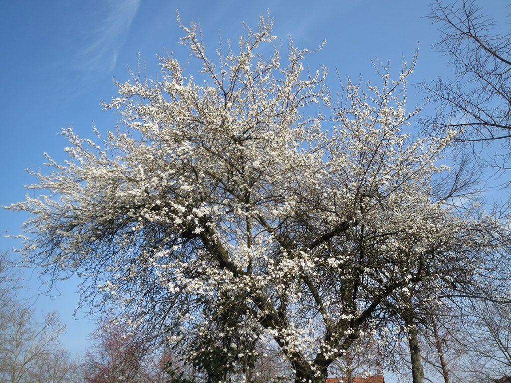 Cherry Plum Tree  -  Prunus Cerasifera  -  Mature Tree In Blossom