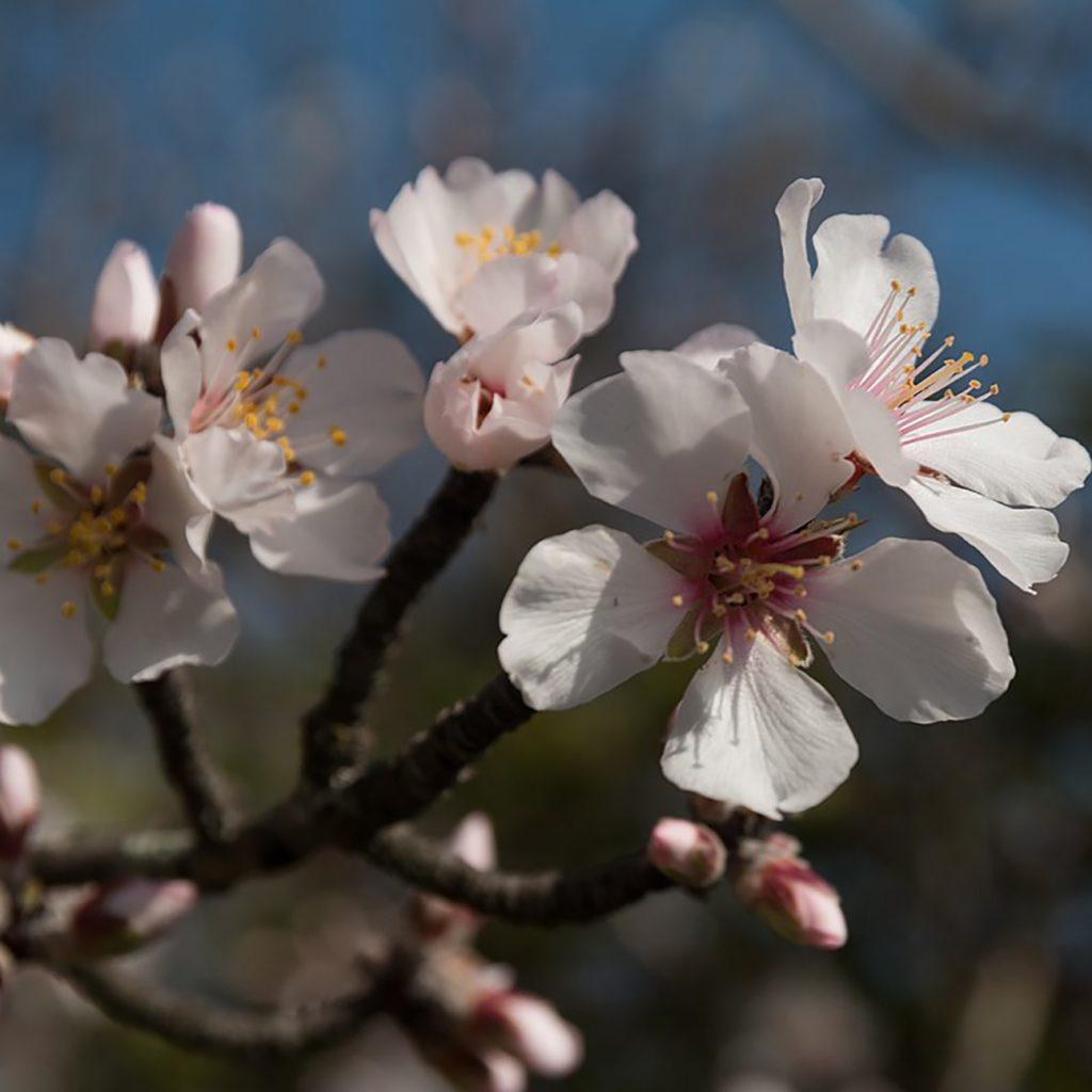 Cherry Plum Tree Prunus Cerasifera Blossom