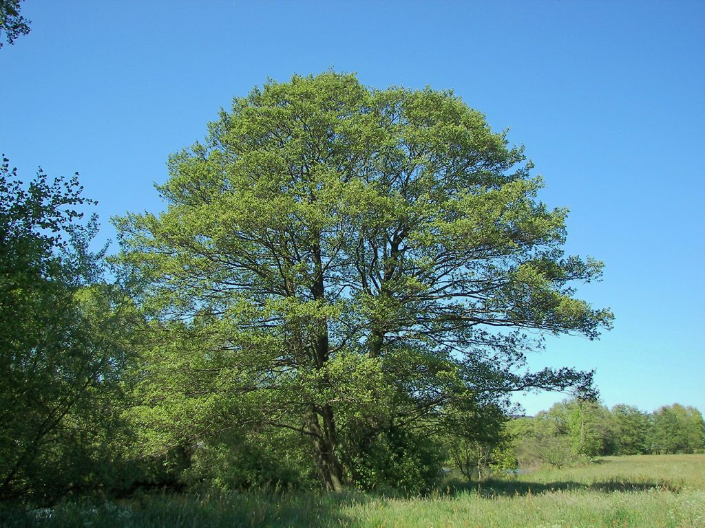 Common Alder  -  Alnus Glutinosa  -  Mature Tree