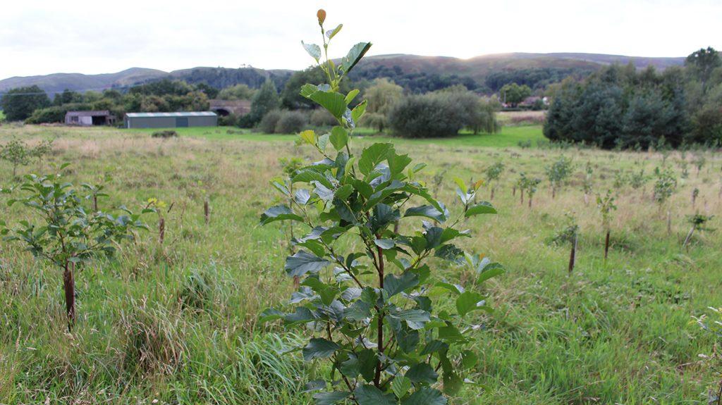 Common Alder  -  Alnus Glutinosa  -  Sapling
