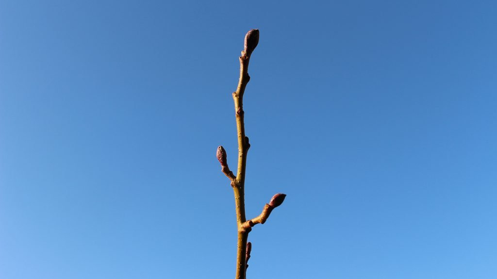 Common Alder  -  Alnus Glutinosa  -  Winter Stems And Buds