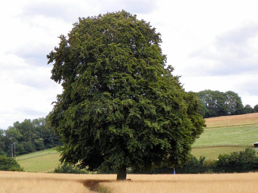 Common Beech Tree  -  Fagus Sylvatica  -  Mature Tree