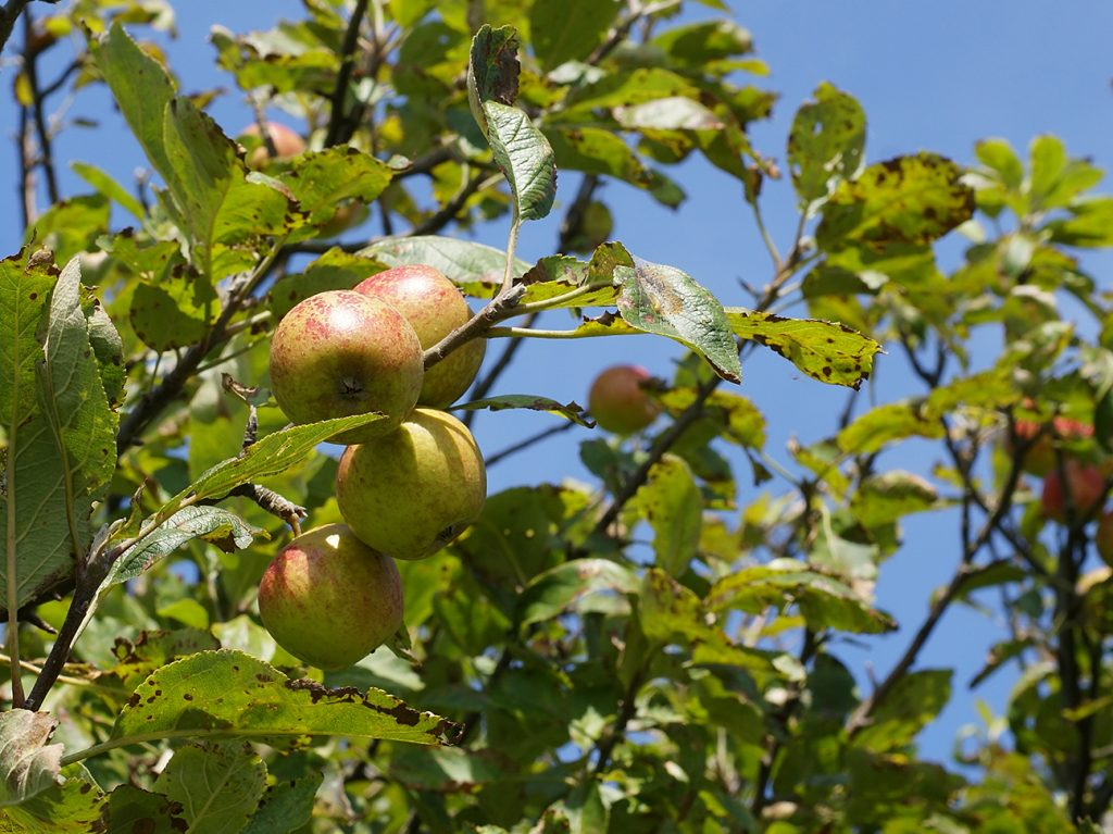 Crab Apple Tree  -  Malus Sylvestris  -  Fruit And Leaves 1