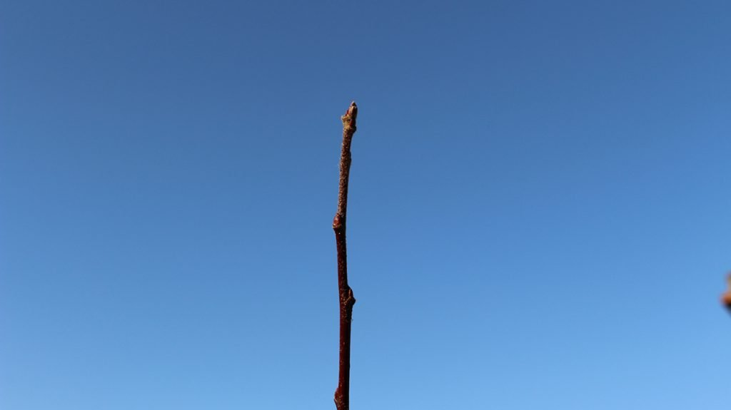 Crab Apple Tree  -  Malus Sylvestris  -  Winter Stems And Buds 1