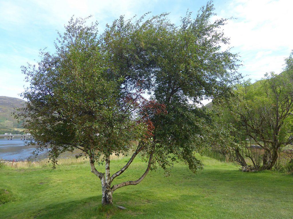 Downy Birch Tree  -  Betula Pubescens  -  Mature Tree