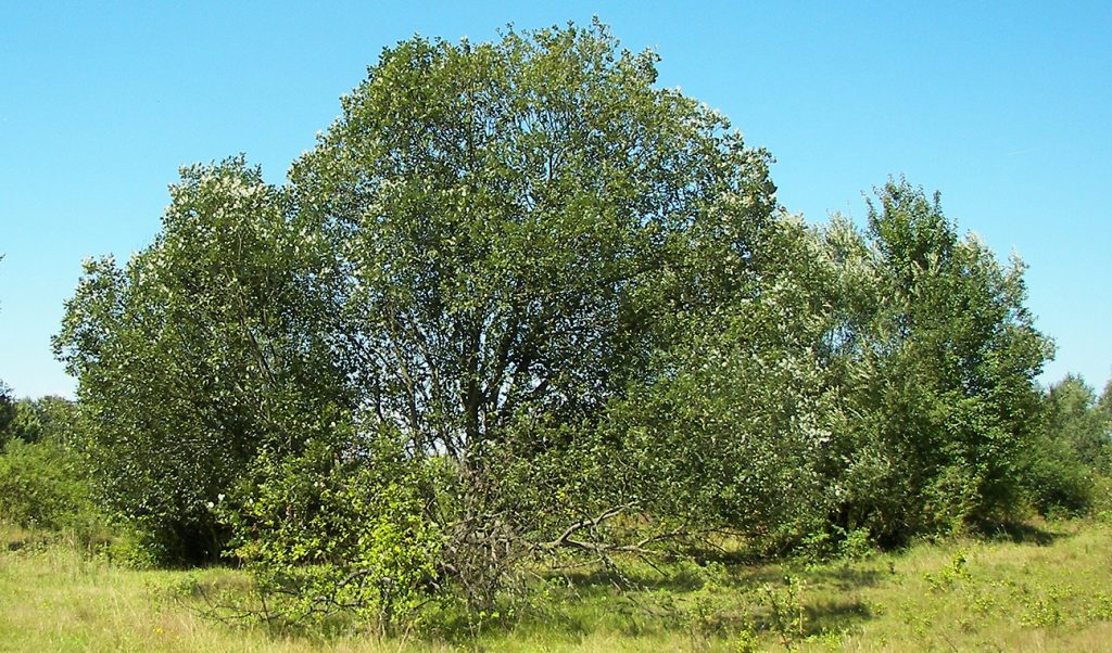 Goat Willow Tree  -  Salix Caprea  -  Mature Tree
