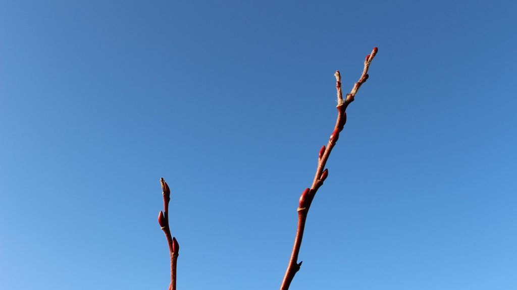 Goat Willow Tree  -  Salix Caprea  -  Winter Stems And Buds