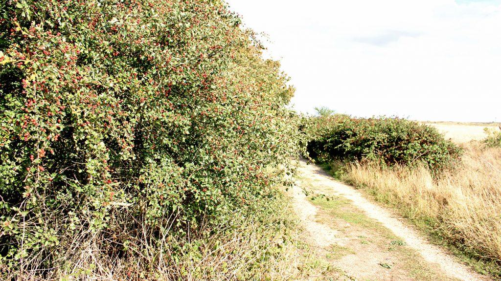 Hawthorn Tree  -  Crataegus Monogyna  -  Mature Tree With Berries