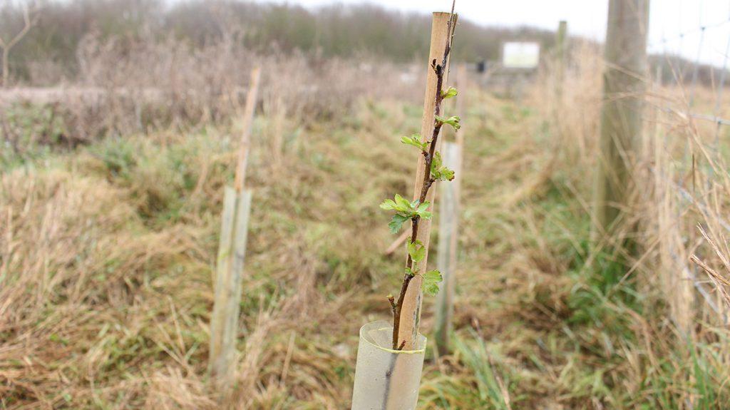 Hawthorn Tree  -  Crataegus Monogyna  -  Sapling  -  Thameside Nature Park  -  Essex
