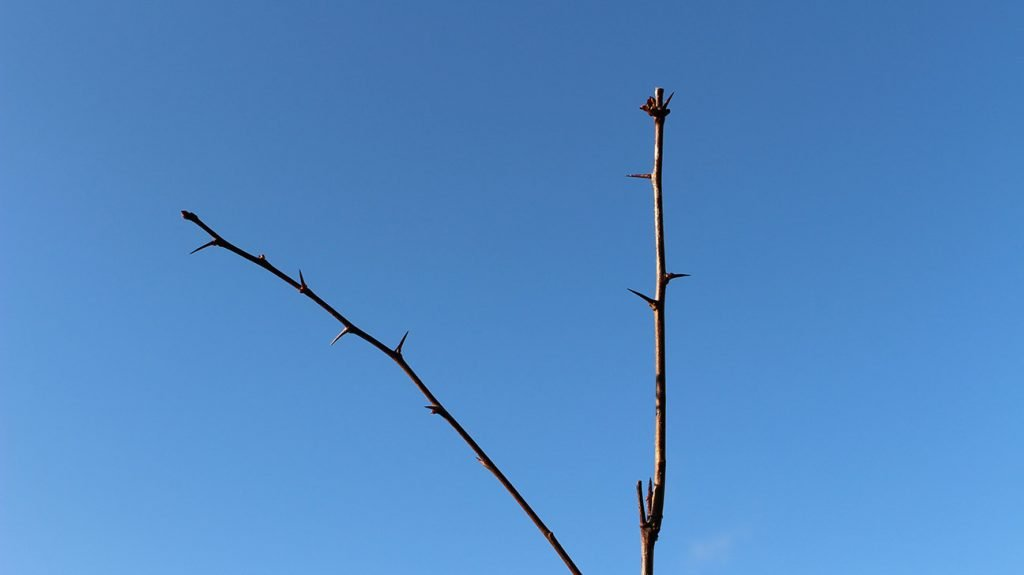 Hawthorn Tree  -  Crataegus Monogyna  -  Winter Stems And Buds