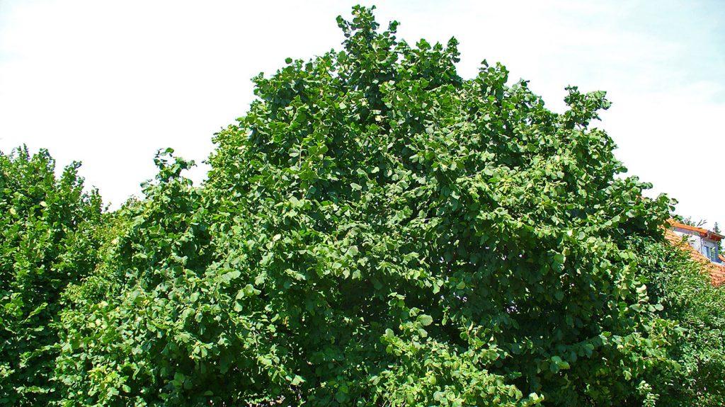 Hazel Tree  -  Corylus Avellana  -  Mature Tree