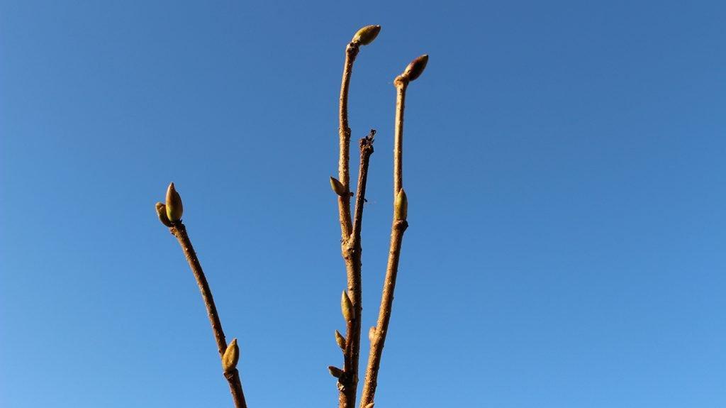 Hazel Tree  -  Corylus Avellana  -  Winter Stems And Buds