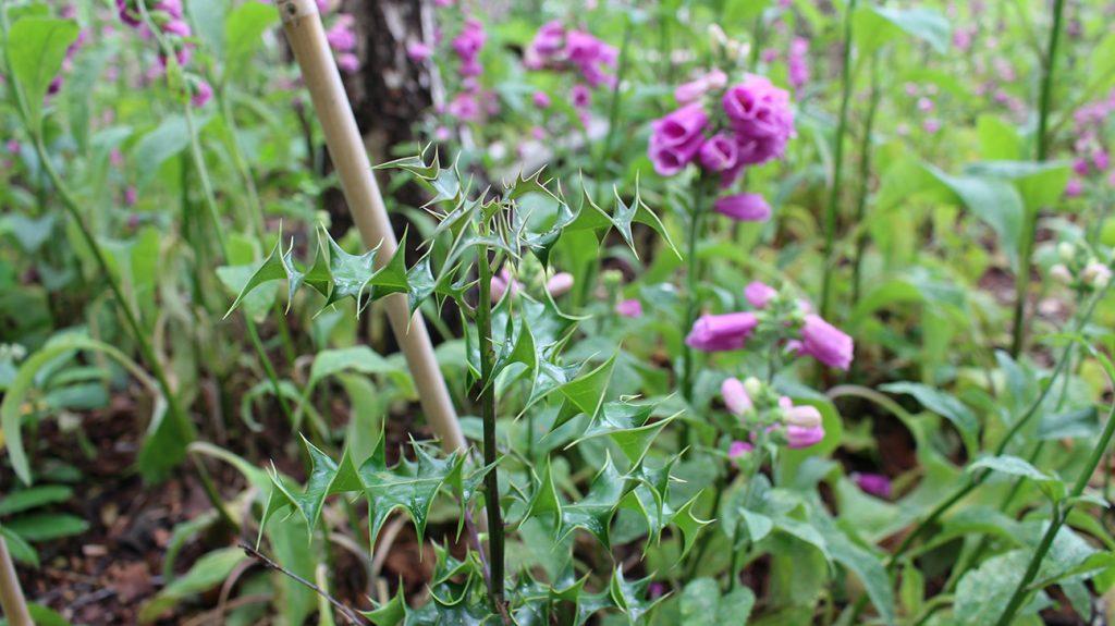 Holly Tree  -  Ilex Aquifolium  -  Young Holly Sapling  -  Mere Sands Wood  -  Lancashire
