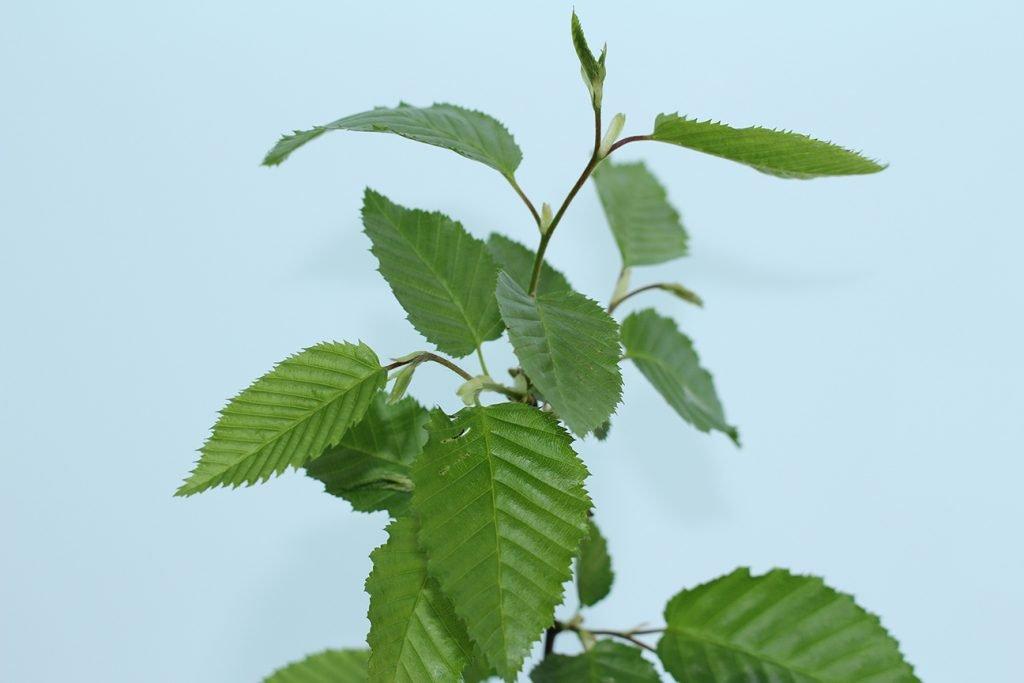 Hornbeam Tree  -  Carpinus Betulus  -  Leaves