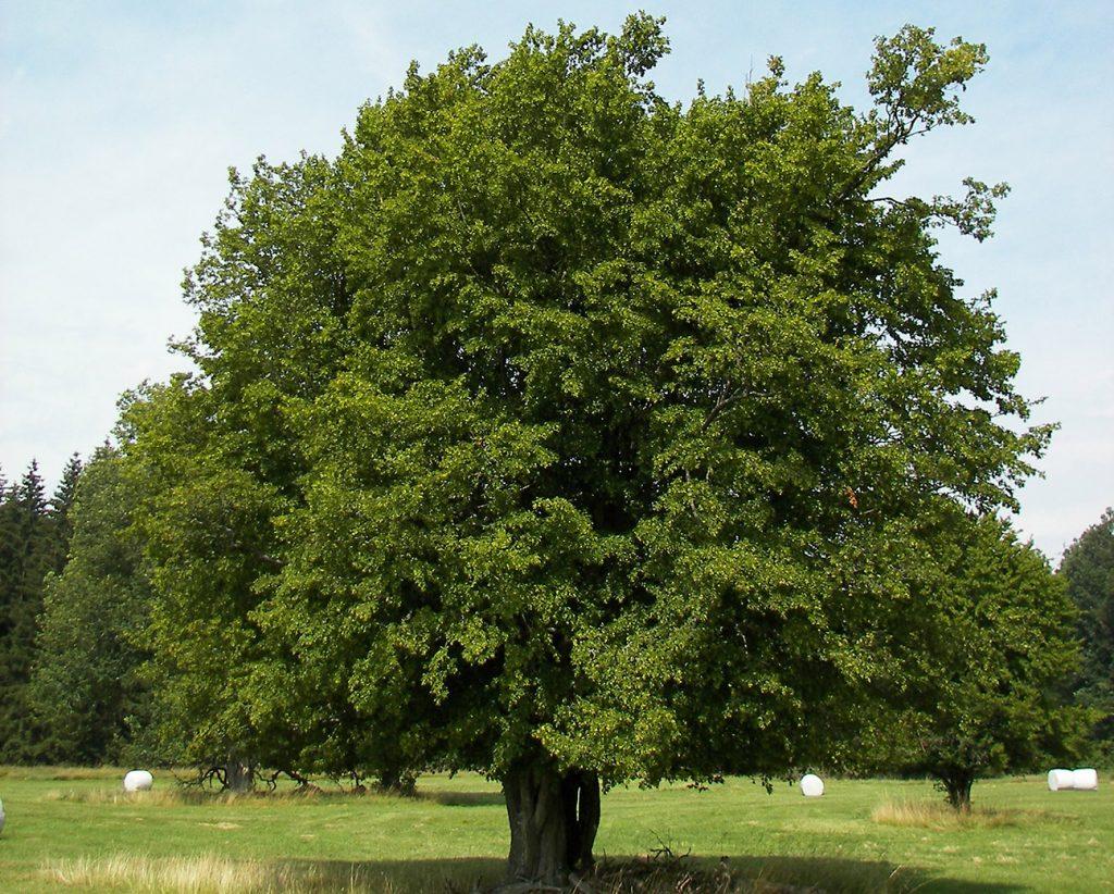 Hornbeam Tree  -  Carpinus Betulus  -  Mature Tree