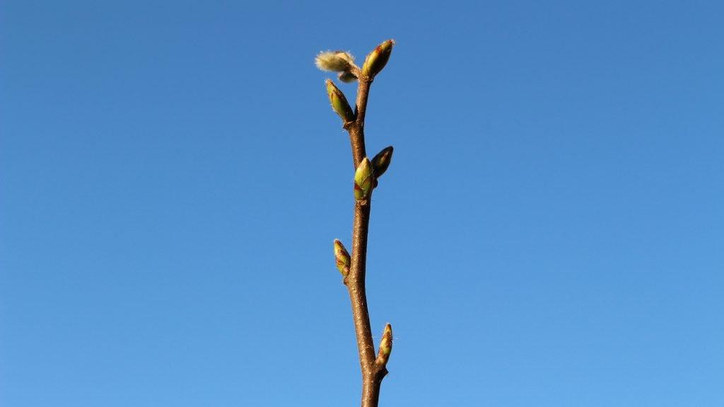 Hornbeam Tree  -  Carpinus Betulus  -  Winter Stems And Buds