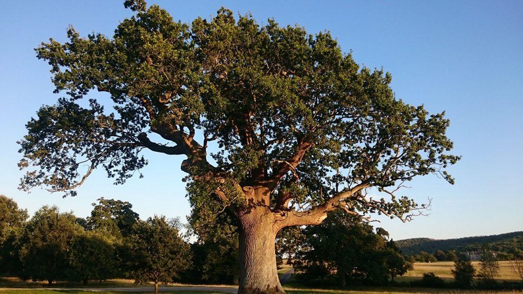 Oak Tree - Quercus Robur - mature tree at Wiston Manor, Sussex