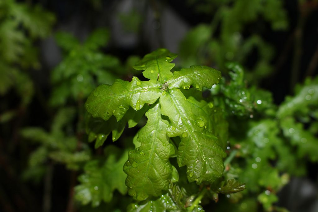 Oak Tree  -  Quercus Robur  -  Leaves