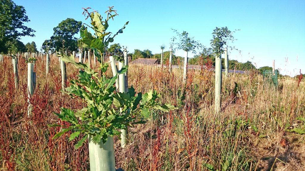 Oak Tree  -  Quercus Robur  -  Sapling In Tree Shelter At Knepp Wildland  -  Sussex