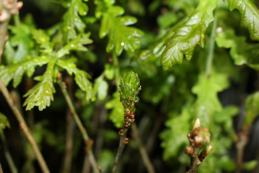 Oak Tree  -  Quercus Robur  -  Young Sapling Leaves And Buds
