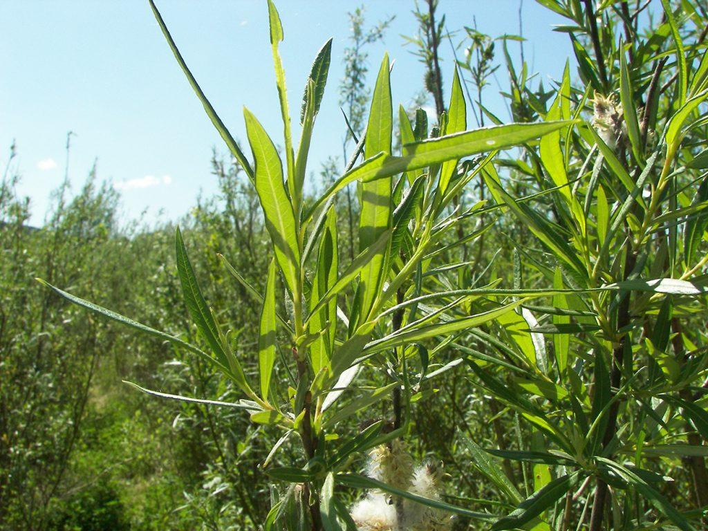 Osier Willow  -  Salix Viminalis  -  Leaves
