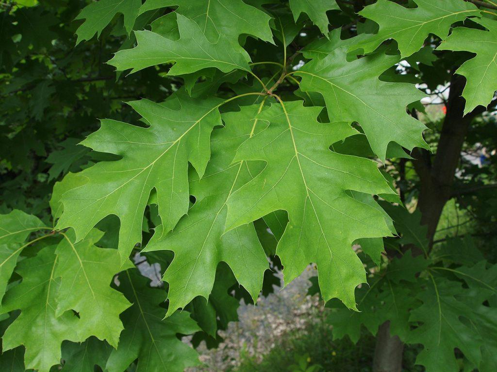 Red Oak Tree  -  Quercus Rubra  -  Leaves
