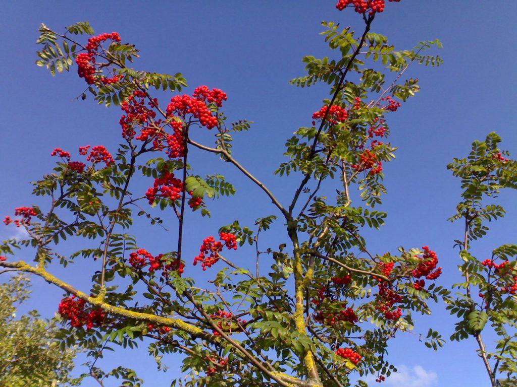 Rowan Tree  -  Sorbus Aucuparia  -  Berries