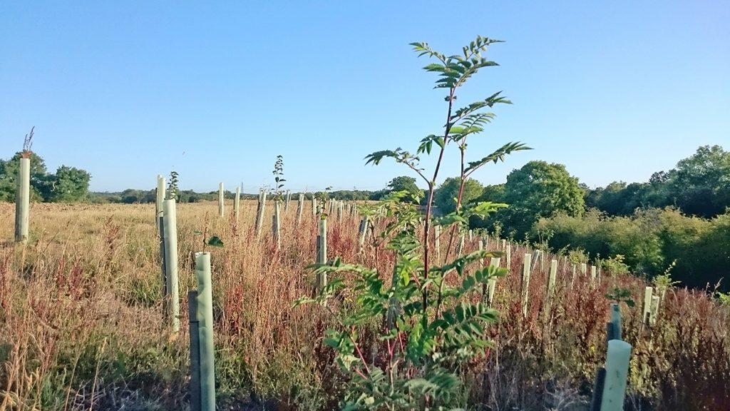 Rowan Tree  -  Sorbus Aucuparia  -  Sapling In Tree Shelter At Knepp Wildland