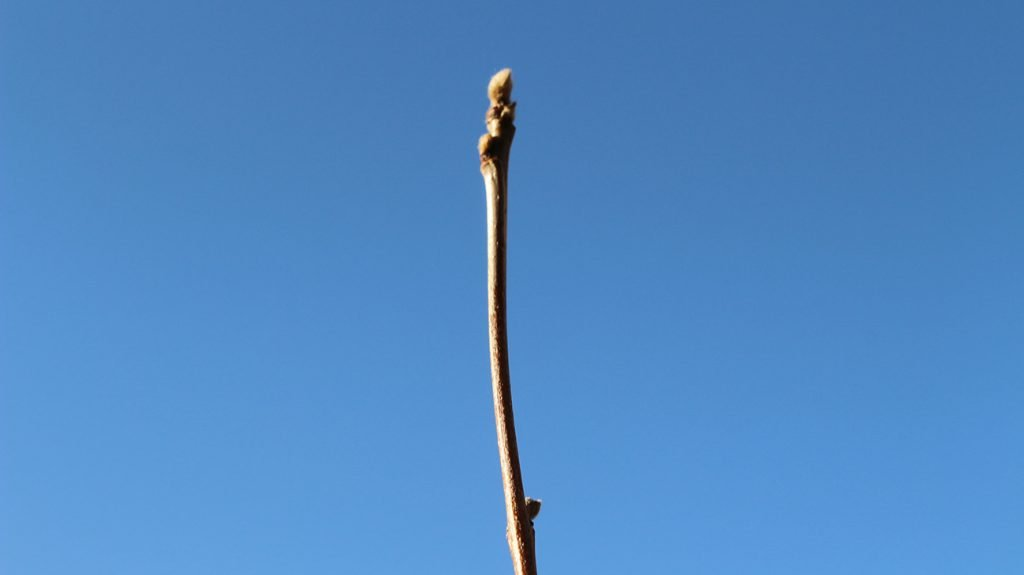 Rowan Tree  -  Sorbus Aucuparia  -  Winter Stems And Buds