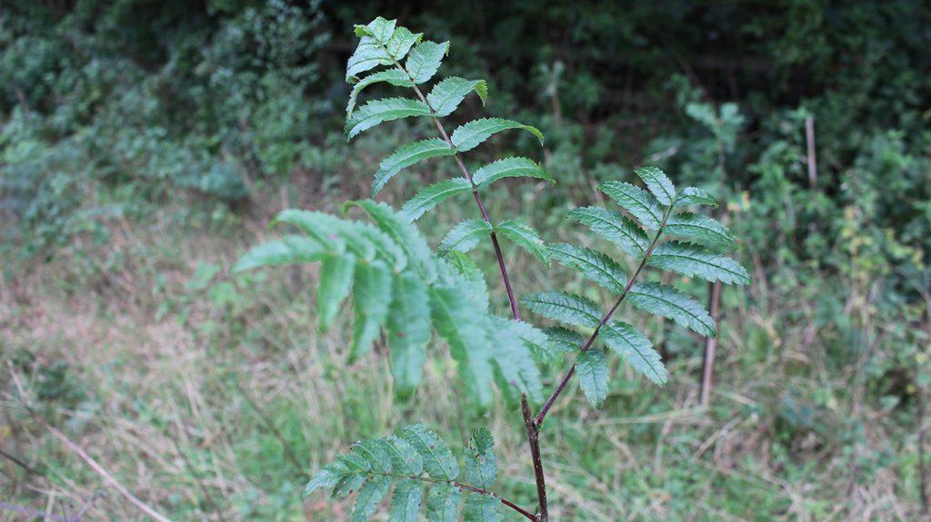 Rowan Tree  -  Sorbus Aucuparia  -  Young Sapling