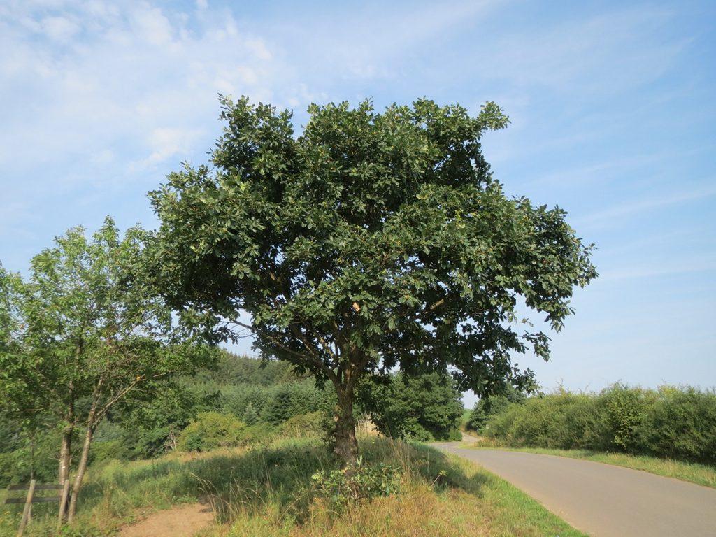 Sessile Oak  -  Quercus Petraea  -  Mature Tree