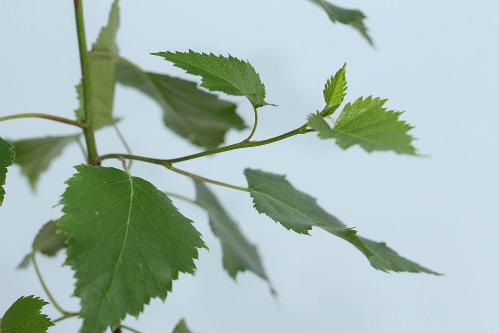 Silver Birch Tree  -  Betula Pendula  -  Leaves