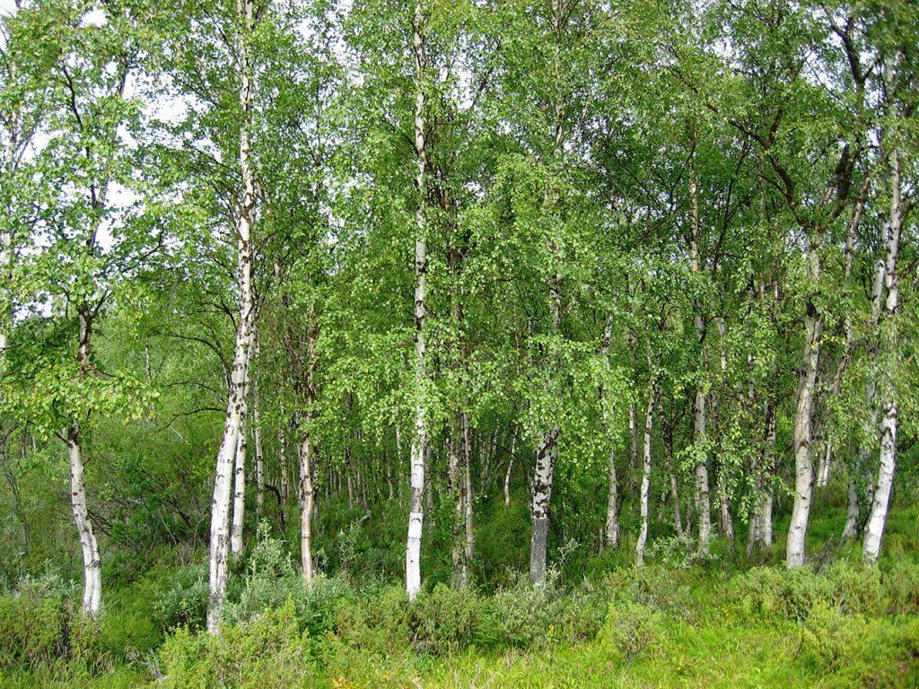 Silver Birch Tree  -  Betula Pendula  -  Mature Trees
