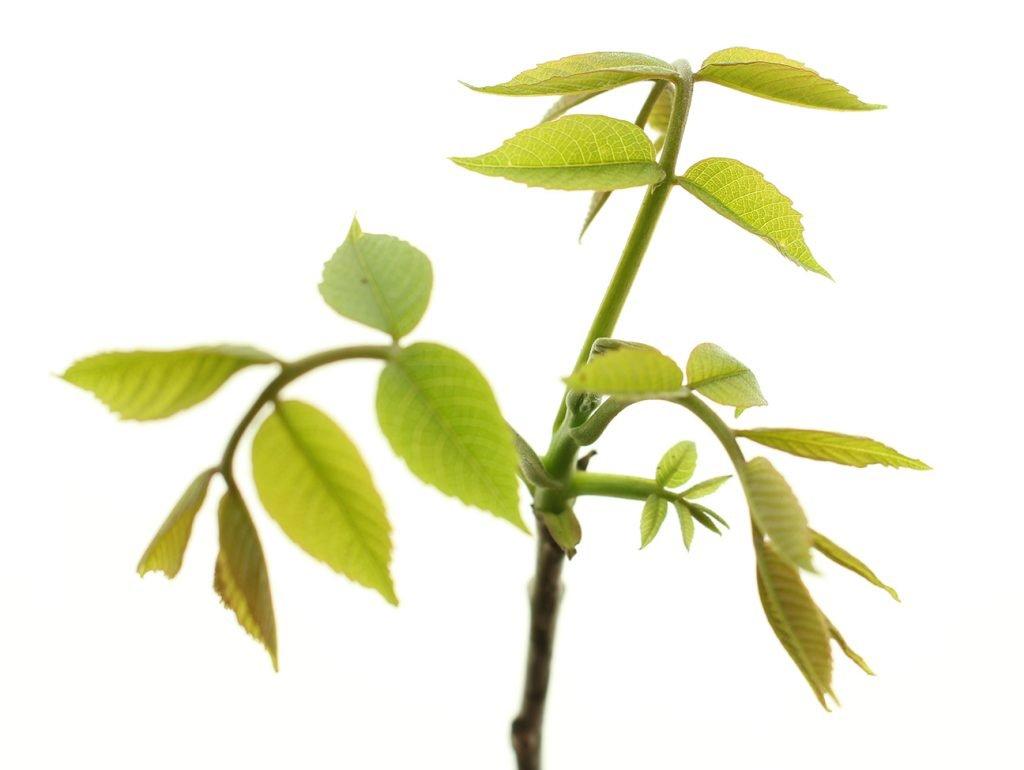 Walnut Tree  -  Juglans Regia  -  Leaves