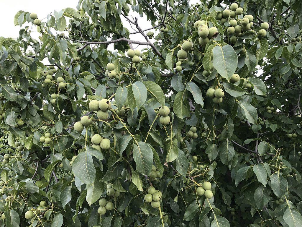 Walnut Tree  -  Juglans Regia  -  Leaves And Fruit