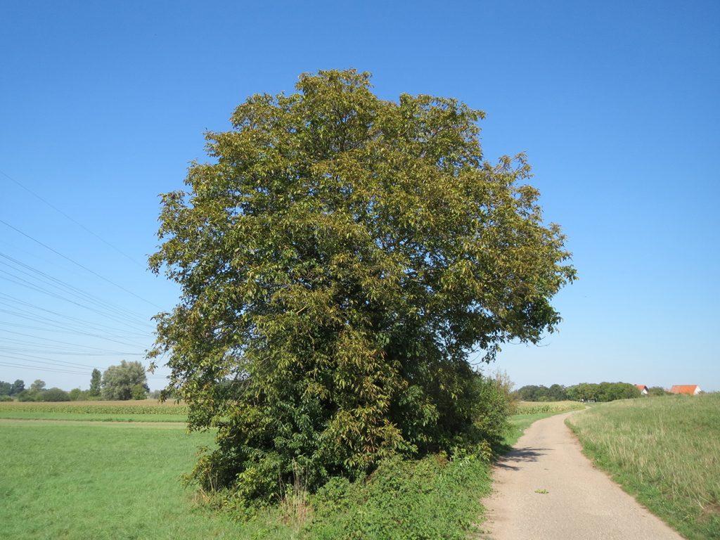 Walnut Tree  -  Juglans Regia  -  Mature Tree
