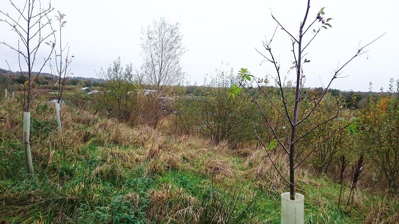 Brockholes Nature Reserve  -  Lancashire  -  Rowan Tree In Shelter