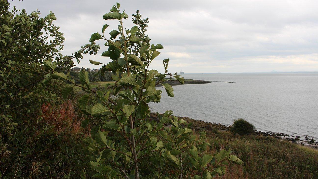 Buckhaven  -  Fife  -  Common Alder Tree Overlooking The Sea