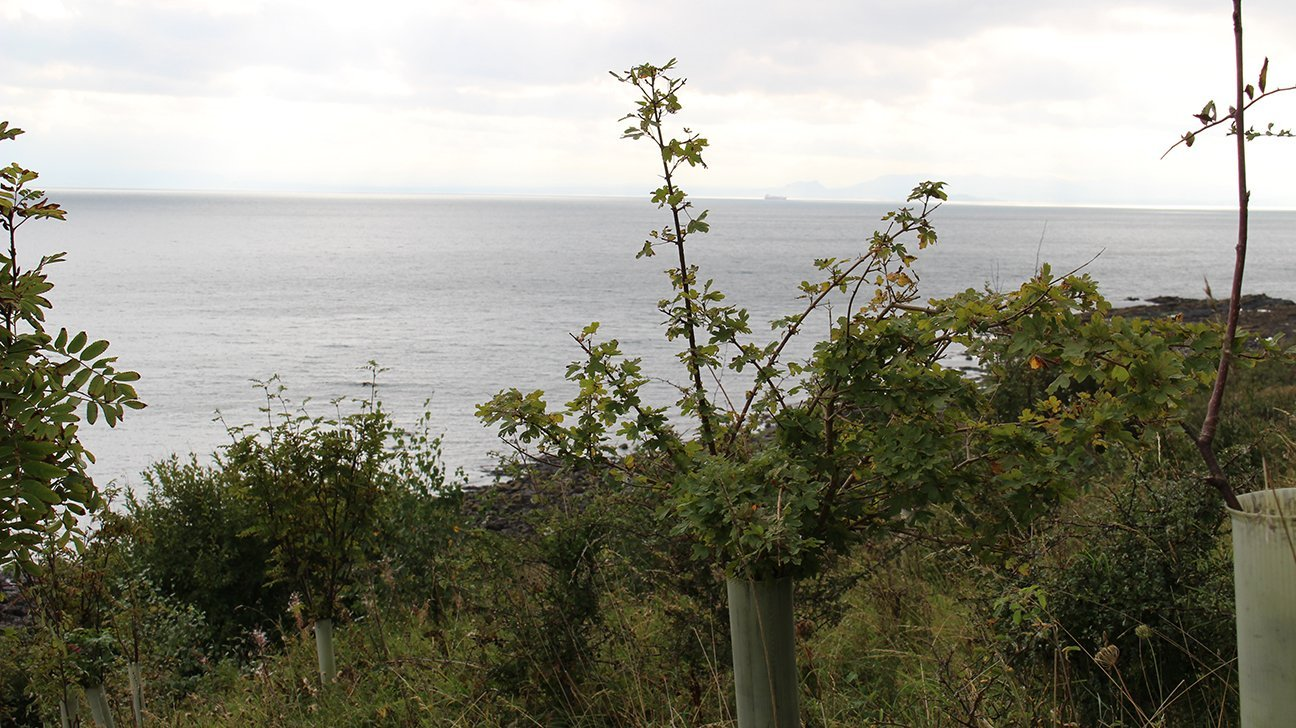 Buckhaven  -  Fife  -  Field Maple Tree Overlooking The Sea