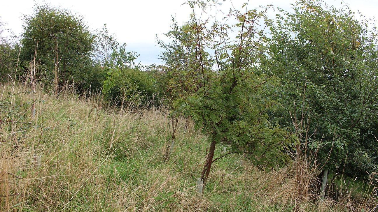 Buckhaven  -  Fife  -  Rowan Tree In Shelter